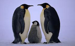 Emperor+Penguin+images