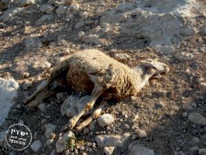 dead-sheep-300x225