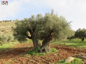 olive-tree-awarta-600x450