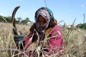 Palestinian-woman-collects-wheat-stalks-during-harvest-in-a-field-in-Rafah01