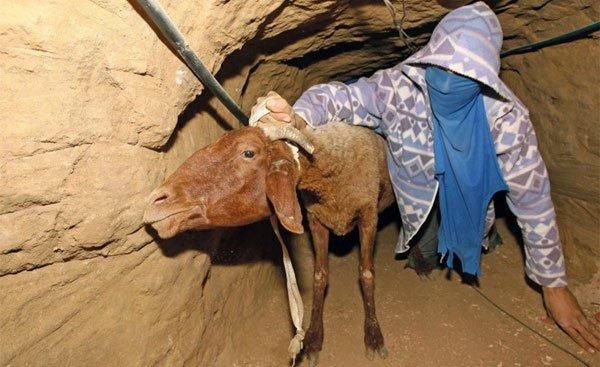 gaza-tunnels-smuggling-lamb