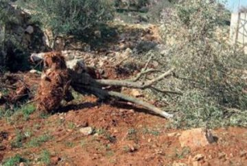 uprooted-olive-tree-e1471332030329